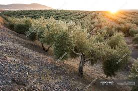sunset over the landscape with olive garden jaen spain stock photos