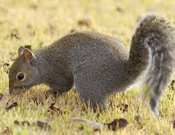 Squirrel Species Chart Eastern Gray Squirrel And Eastern Fox Squirrel Mdc