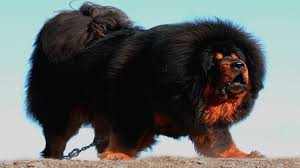 the bigger the better this may be the motto of those who prefer large or giant dogs well who could blame them when these big fluffy dog breeds are