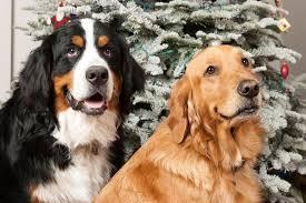 bernese mountain dog mix.  Mountain Bernese Mountain Dog Mix With Golden Retriever To Dog Mix N