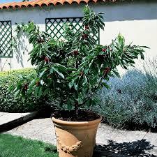 cherry fruit tree patio pot fruit tree growing small