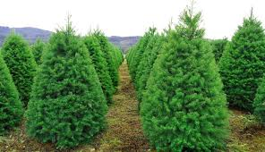3 Reasons U0026 22 Places To Buy Real Christmas Trees In NJChristmas Tree Cutting Nj