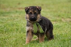 black and brown german shepherd puppies. Modren German Cool Black And Brown German Shepherd Puppies In