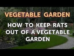 keep rats out of a vegetable garden