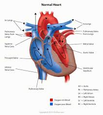 Small Picture The 25 best Cardiac anatomy ideas on Pinterest Heart anatomy