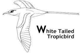 Small Picture White Tailed Tropicbird Coloring Pages And Facts