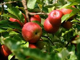 Image result for organic apples