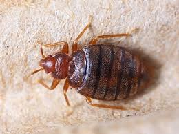 Carpet Beetle Black Ehrlich Pest Control Bed Bug Is Small Flat Insect That Very Tiny And Hard To See They Like Hide In Spaces Not Far From Their Food Source Favorite Carpet Beetles Vs Bugs