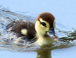 swim little duckling