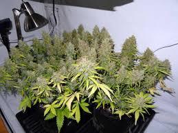 250w Grow Light 250w Mh Hps Cannabis Grow Setup Tutorial Grow Weed Easy