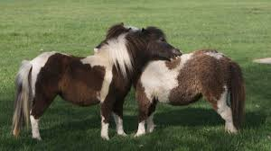 5 Things Youve Always Wondered About Miniature Horses