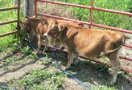 Jersey Calf Weight Chart Guide To Miniature Cattle Breeds Small Modern Homesteading Farm