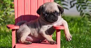 newborn baby pugs for sale. Perfect Sale If You Really Do Not Have The Time To Go And Visit Pet Stores  Physically Buy A Pug Then It Is Advised Find Good Local Store Or  With Newborn Baby Pugs For Sale