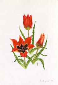 Tulipa agenensis DC.   Flora of Israel Online