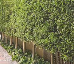 Ficus Hedge - Pleached. A few years and our driveway will look like this.