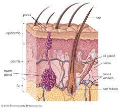 Sebaceous Gland Anatomy Britannica
