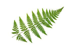 Premium Photo | Green fern leaf on a white background