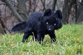 baby black wolf with blue eyes. Baby Black Wolf In With Blue Eyes