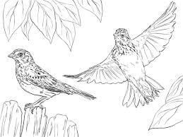 Small Picture Gorrin Zacatero Coliblanco Dibujo para colorear pjaros y aves