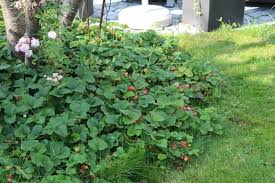 strawberry parfum june bearing strawberry meadow 6 pack hearty good strawberries with groundcover qualities