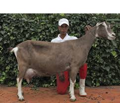 Milk Goat Breeds In South Africa