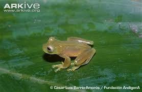 نوع نادر من الضفادع يتحول الى زجاج - ضفادع الضفادع ضفدع زجاجى شفاف -transparent glass frog