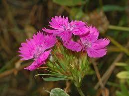 Dianthus balbisii - Wikipedia, la enciclopedia libre