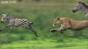lioness hunting.  Lioness HD Lioness Hunts Zebra  Natureu0027s Great Events The Migration BBC  One YouTube Intended Hunting G
