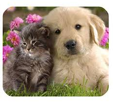 golden retriever puppy and kitten.  Puppy Amazoncom  IFUOFF Mouse Pad Animals Cat Kitten Dog Golden Retriever Puppy  Mousepad Rubber Gaming Mat Office Products On And