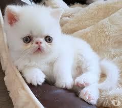 chat persan a donner ille et vilaine