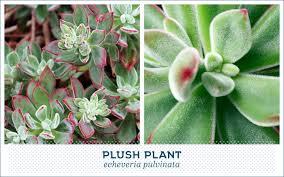 types of succulents plush plant