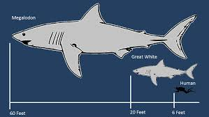 Shark Size Comparison Chart Phatfossils Megalodon Shark Facts