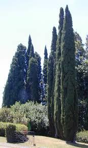 Cupressus sempervirens - Wikipedia