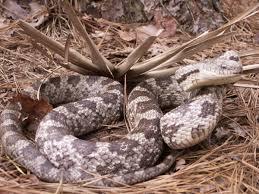 Georgia Snake Identification Chart Non Venomous Snakes Of Georgia Pictures And Descriptions