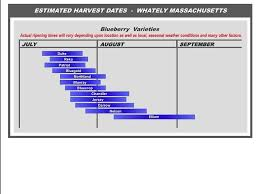Blackberry Ripening Chart Blueberry Harvesting Blueberry Varieties Blueberry Plant