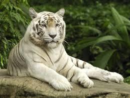 white tiger wallpaper free download. Beautiful Download White Tiger Singapore To Tiger Wallpaper Free Download B