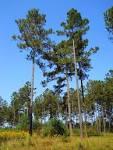 Pinus taeda - Wikipedia