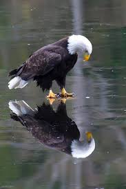 Image result for eagle bird looking at reflection mirror animated gif