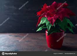 Schöne Rote Weihnachten Blume Weihnachtsstern Auf Dunklem