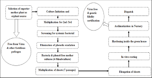 Tissue Culture Flow Chart Flow Chart Summarizing Techniques Of Sugarcane Tissue