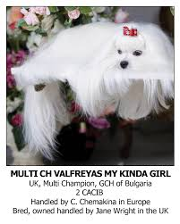 silky dog white. best dog shampoo for maltese silky white