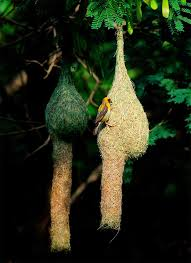 Image result for hình ảnh tổ chim dồng dôc