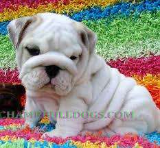 english bulldog puppies for picture english bulldog puppies for photo