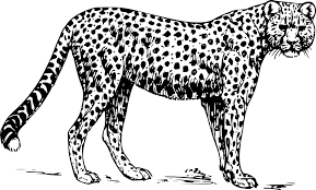 Small Picture Download Coloring Pages Cheetah Coloring Pages Cheetah Coloring