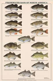 Bass Species Chart Freshwater Bass Fish Poster And Identification Chart