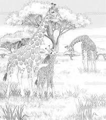 Safari Giraffe Coloring Pages For Adults 114 Giraffe Coloring