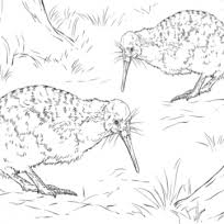 Small Picture Pictures Of Kiwi Animal Coloring Pages Animal north island
