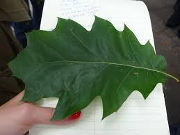Red Oak Leaf Identification Related Keywords Suggestions