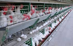 Granjas de ovos têm até novembro para adequar mudanças em inspeções – ABRA