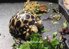 Indian Star Tortoise Diet Chart Star Tortoises Diet Foods